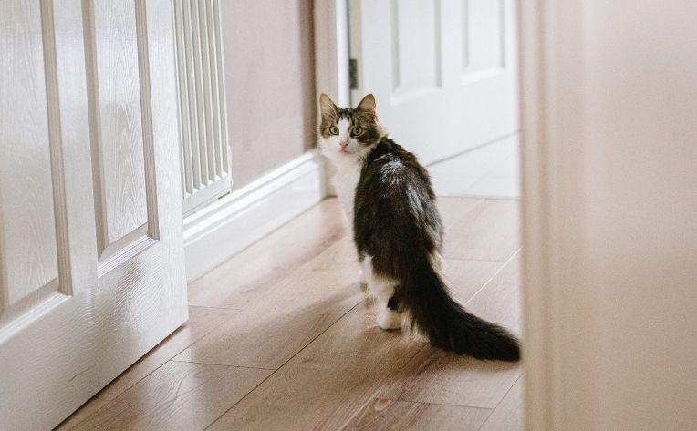 Cat on Laminate Wide Plank Flooring